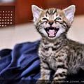 亞瑪遜豹貓2011年3月份月曆~~