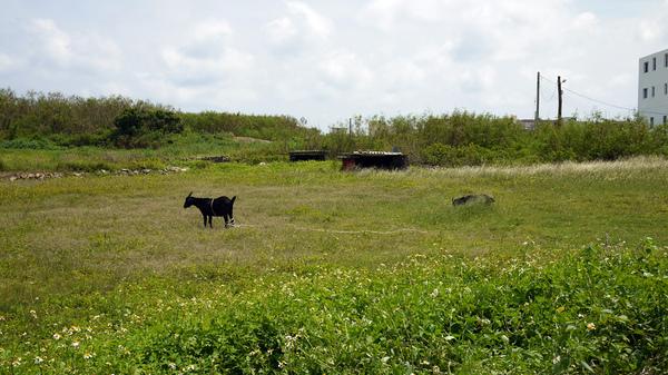 七美 草地上的羊群