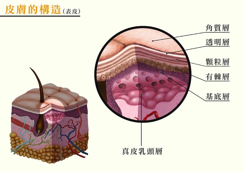 皮膚構造-表皮.jpg