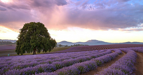 Tasmania-Lavender-Field-1024x535.png