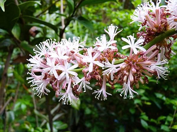 巴西鐵樹開花
