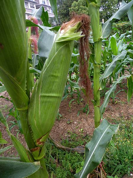4-2玉米P1960219