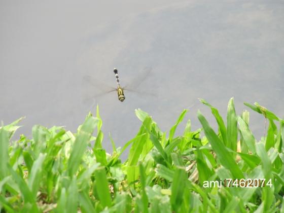 IMG_037蜻蜓.jpg
