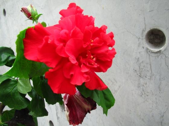 IMG_4528紅花