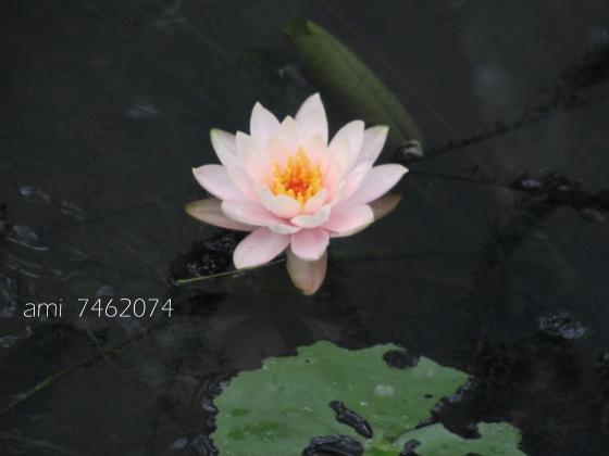 IMG_8994xu蓮花