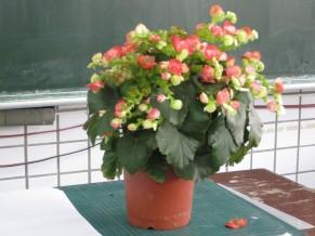 IMG_2318我的海棠花.jpg