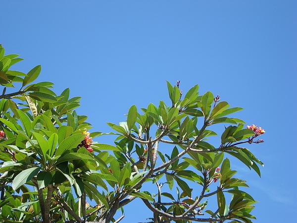 藍天與雞蛋花