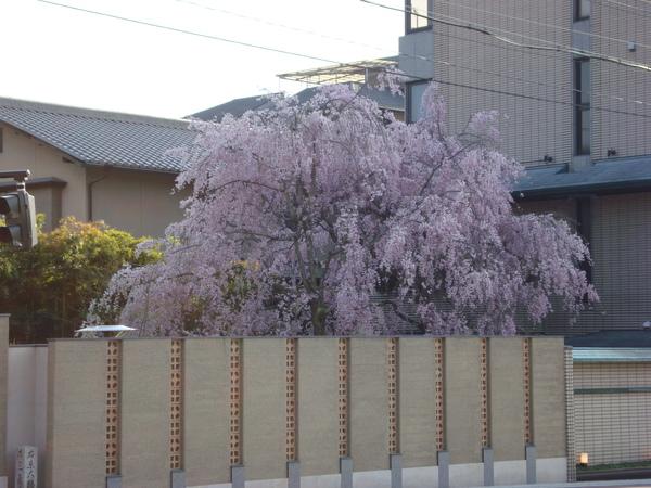 好壯觀的枝垂櫻