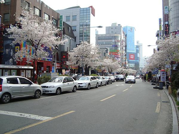 整路的櫻花