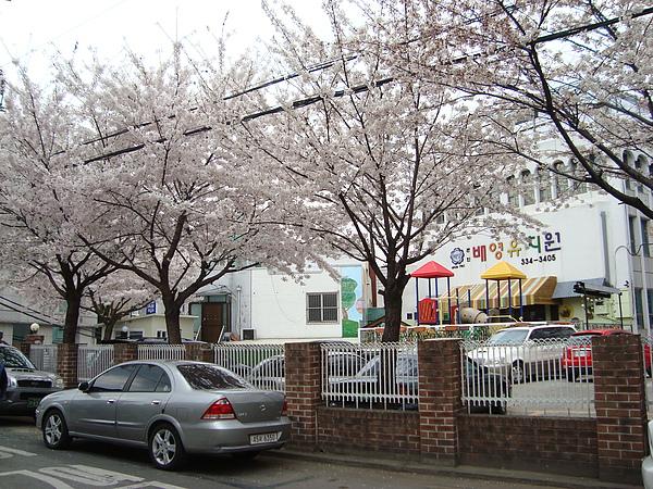 櫻花處處盛開
