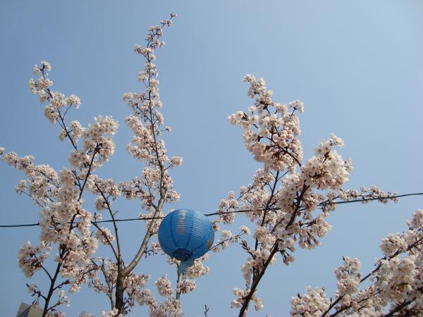 櫻花與藍色燈籠(?)