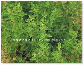 馬郁蘭草.JPG