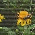 sflower2