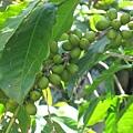 庭院-咖啡豆.jpg