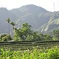 庭院-茶園.jpg