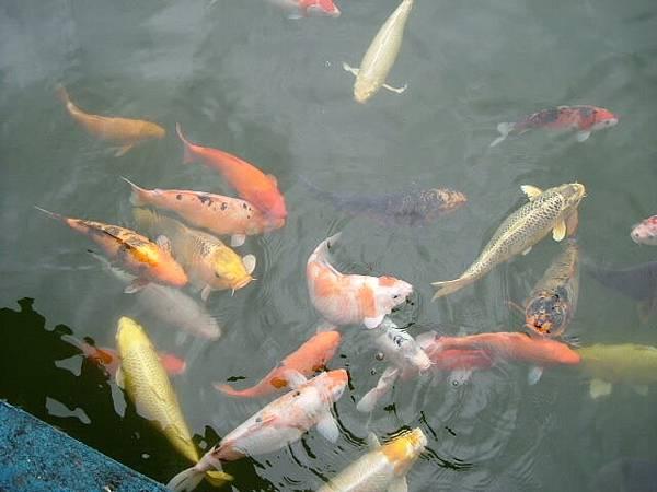 被我們餵飽的魚