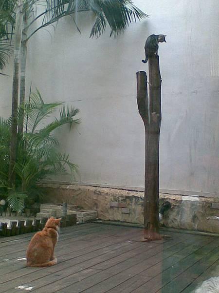 會爬樹的貓