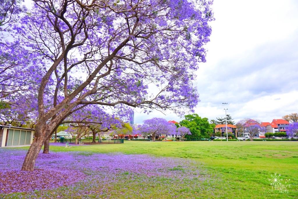 藍花楹賞花攻略- 布里斯本New Farm就能享受到的淡紫色春天! @ 艾蜜莉喜歡去旅行:: 痞客邦::