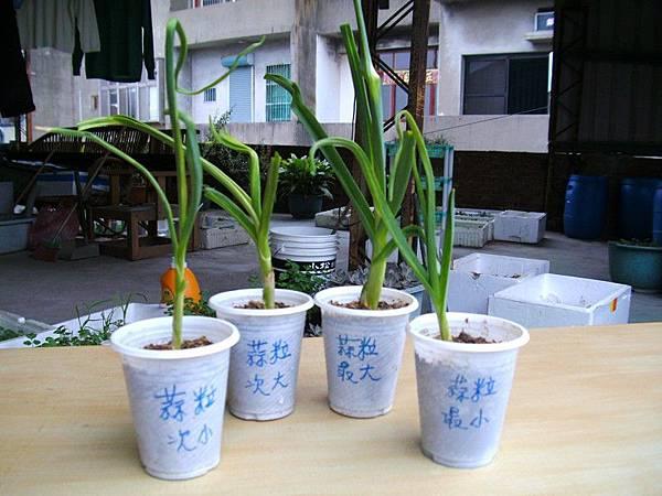 蒜頭大與小種植比較第33天