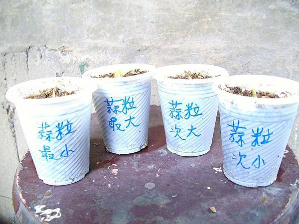 青蒜q蒜頭大與小種植比較
