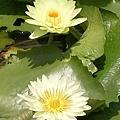 蓮花14.jpg