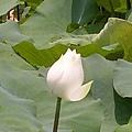 蓮花43.jpg