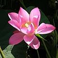 蓮花19.jpg