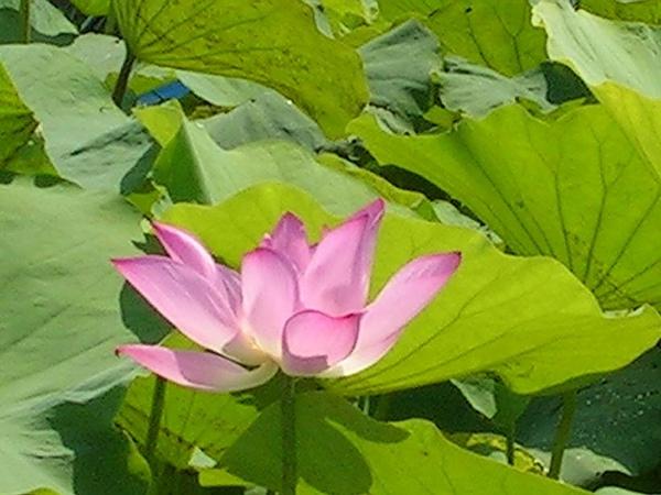 蓮花-白河41.jpg