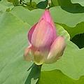 蓮花-白河45.jpg