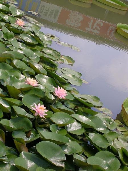 蓮花-白河49.jpg