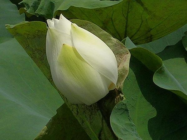 蓮花-白河54.jpg