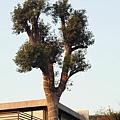 6028內的大樹