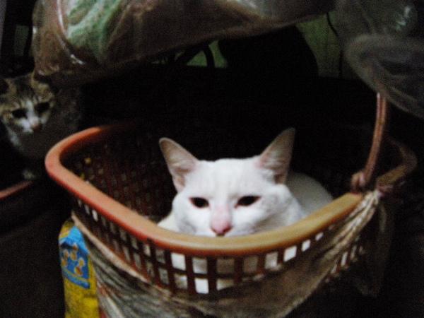 秀秀麻咪養了超多隻貓的!白喵好可愛~