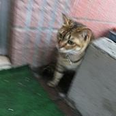 1020831雙溪太平街躲雨的貓.jpg