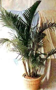 黃椰子.jpg
