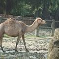 DSCF1776駱駝.JPG