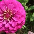 DSCF4906花瓣很多.JPG
