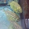 DSCF5511鳳梨魚.JPG
