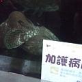 DSCF5519魚也住加護病房.JPG
