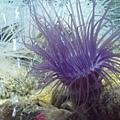 DSCF5540紫色海葵.JPG