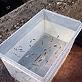 DSCF5697撈魚.JPG