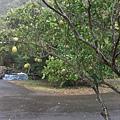 DSCF7236柚子樹耶.JPG