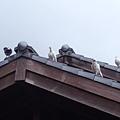 DSCF7291鴿子.JPG
