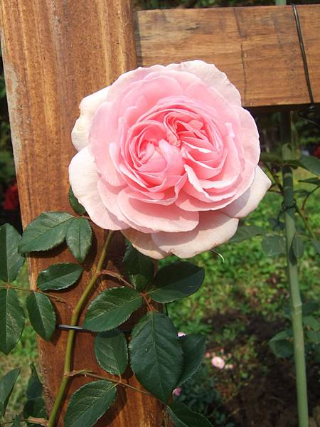 DSCF1771玫瑰.JPG