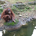 DSCF1754紅毛猩猩.JPG