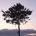 DSCF0687特別的樹.JPG