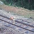 DSCF0747鐵軌上的狗兒.JPG