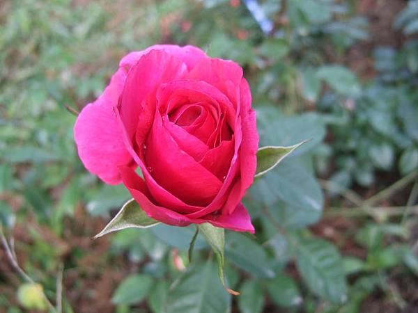 DSCF1768玫瑰.JPG