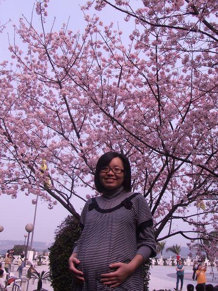 捧腹與櫻花