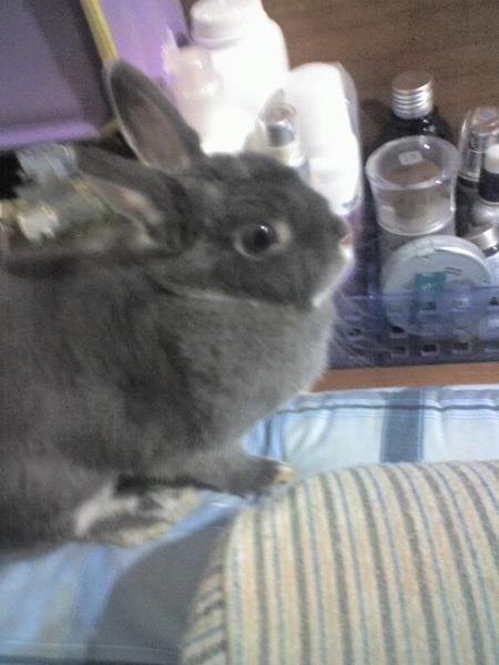 伊蓮的兔子恰恰